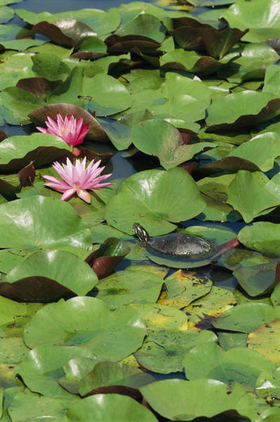 Painted Turtle Photograph - A Painted Turtle Rests On A Water Lily by George Grall