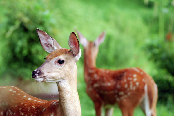 Photograph - A Pair Of Fawns by Lori Tambakis