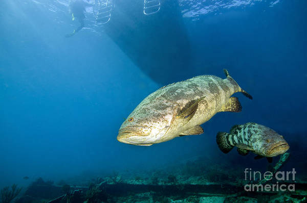 Goliath Photograph - A Pair Of Goliath Groupers by Terry Moore