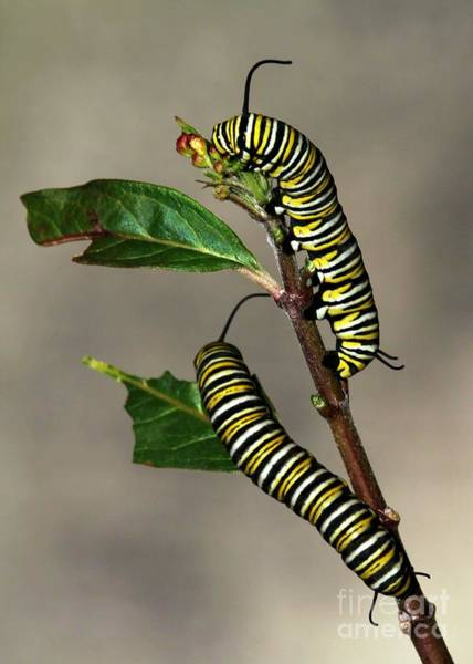 Photograph - A Pair Of Monarch Caterpillars by Sabrina L Ryan