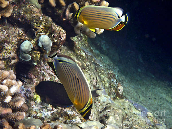 Photograph - A Pair Of Oval Butterflyfish by Bette Phelan
