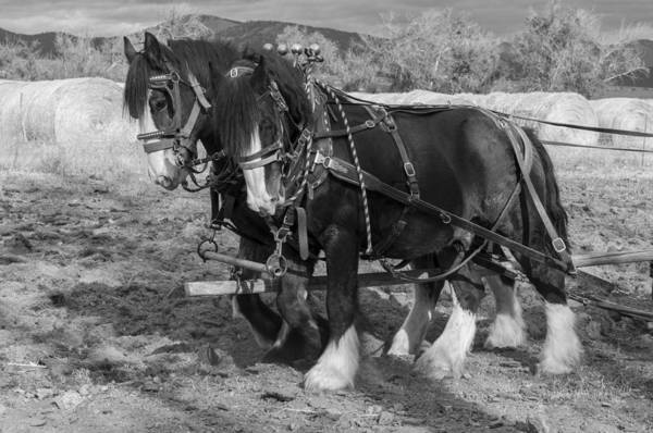 Photograph - A Pair Of Shire Horses by Fran Riley