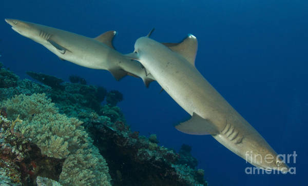 Kimbe Bay Wall Art - Photograph - A Pair Of Whitetip Reef Sharks, Kimbe by Steve Jones