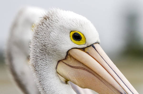 Photograph - A Pelicans' Gaze by Mark Lucey