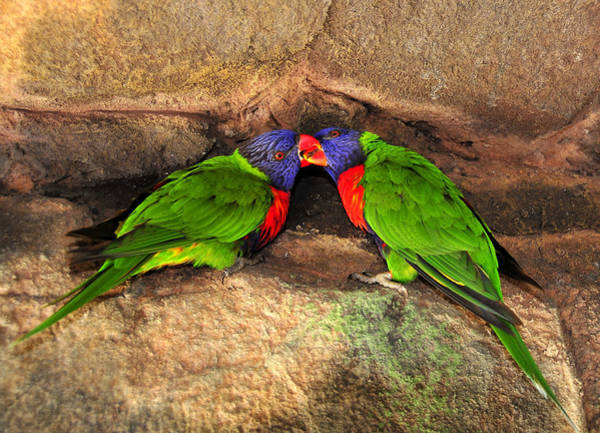 Rainbow Lorikeet Photograph - A Perfect Pair by David Lee Thompson