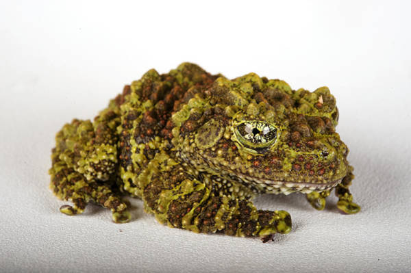 Houston Zoo Photograph - A Pied Mossy Frog, Theloderma Corticale by Joel Sartore