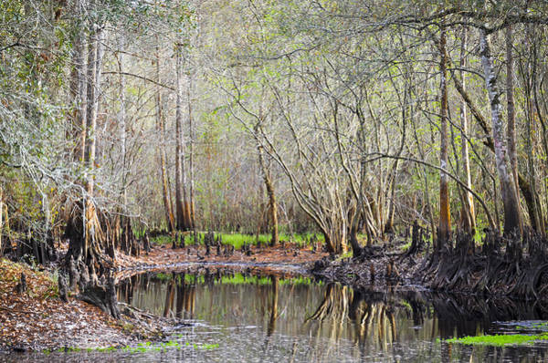 Cypress Knees Photograph - A Quiet Back Woods Place by Carolyn Marshall