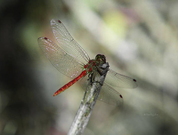 Photograph - A Red Dragonfly by Xueling Zou