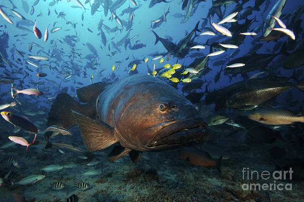 Trevally Photograph - A School Of Golden Trevally Follow by Terry Moore