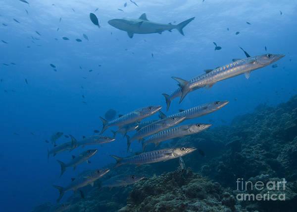 Photograph - A School Of Pickhandle Barracuda, Papua by Steve Jones