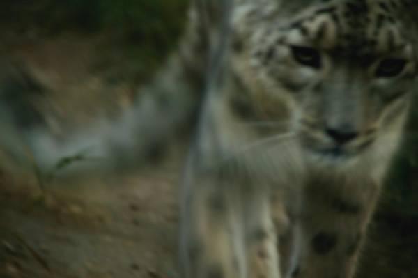 Sneak Photograph - A Snow Leopard by Darren Greenwood