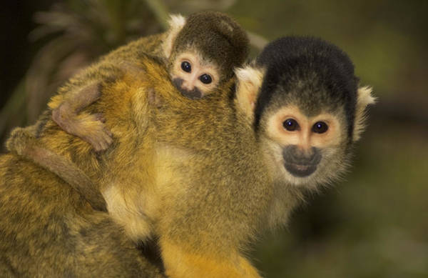 Squirrel Monkey Wall Art - Photograph - A Squirrel Monkey Baby by Nicole Duplaix