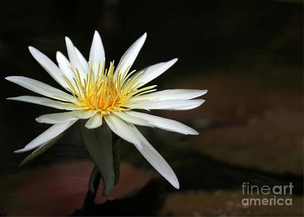 Photograph - A Stunning White Water Lily by Sabrina L Ryan