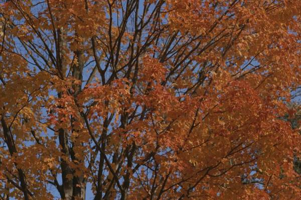 Acer Saccharum Photograph - A Sugar Maple Blazes With Fall Color by Roy Gumpel