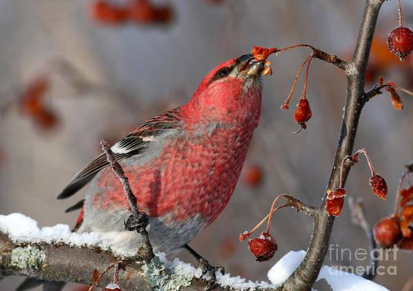 Pine Grosbeak Photograph - A Taste Of Winter by Gary  Fairhead