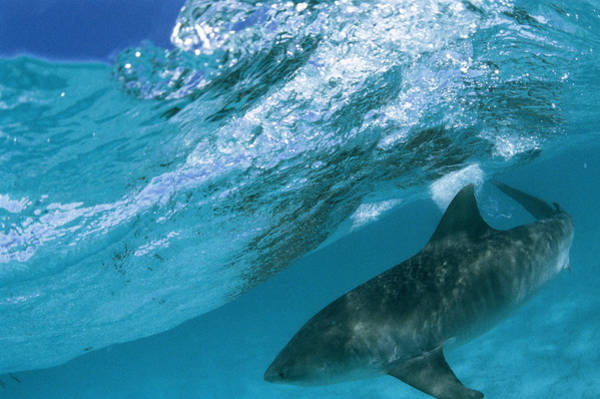 Hawaiian Fish Photograph - A Tiger Shark Cruising Blue Waters by Bill Curtsinger
