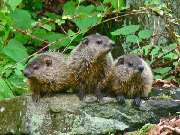 Marmot Photograph - A Trio Of Trouble   by Mother Nature