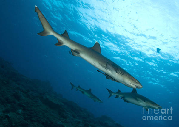 Kimbe Bay Wall Art - Photograph - A Trio Of Whitetip Reef Sharks, Kimbe by Steve Jones