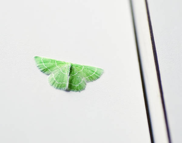 Moth Photograph - A Wee Bit Of Green by Susan Capuano