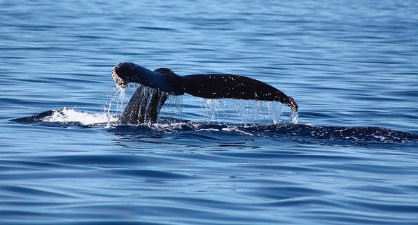 Photograph - A Whale Of A Time by Shane Bechler