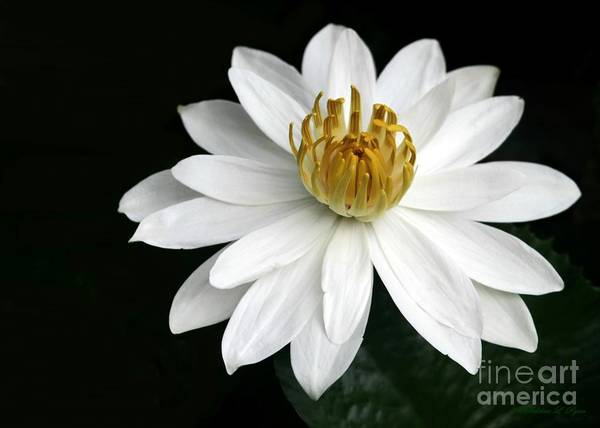Photograph - A White Water Lily by Sabrina L Ryan