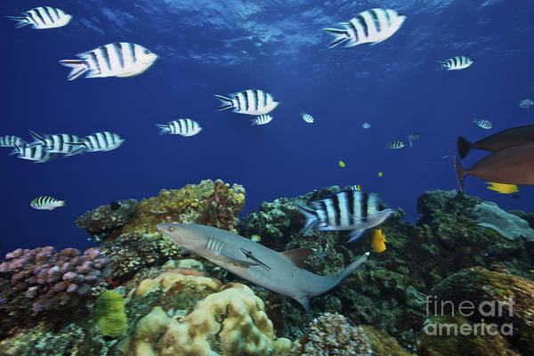 Triaenodon Obesus Photograph - A Whitetip Reef Shark Glides by Terry Moore
