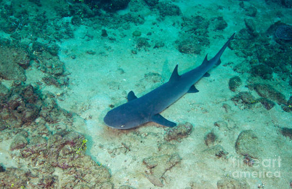 Carcharhinidae Photograph - A Whitetip Reef Shark Laying by Michael Wood