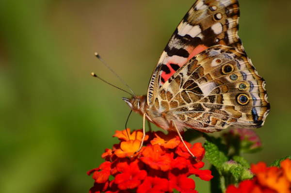 Photograph - A Wing Of Beauty by Lori Tambakis
