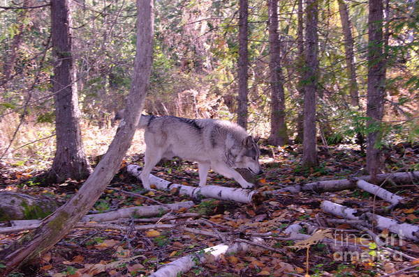Timberwolves Photograph - A Wolf On The Prowl   by Jeff Swan