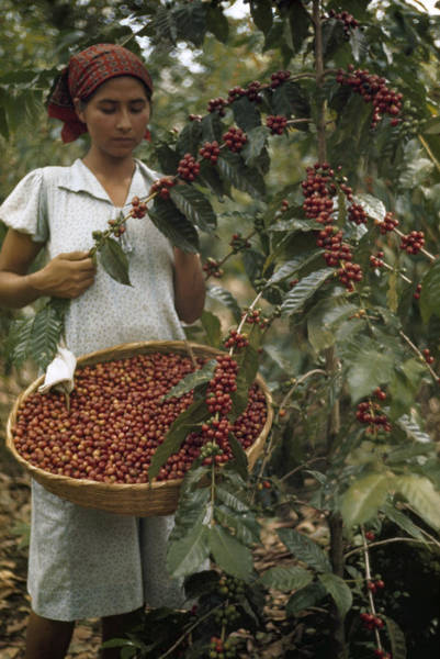 El Salvador Photograph - A Woman Picks Ripe Red Coffee Berries by Luis Marden