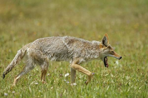 Wall Art - Photograph - A Yawning Coyote by Tom Murphy