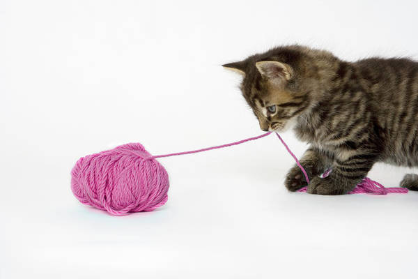 Photograph - A Young Tabby Kitten Playing With A Ball Of Wool. by Nicola Tree