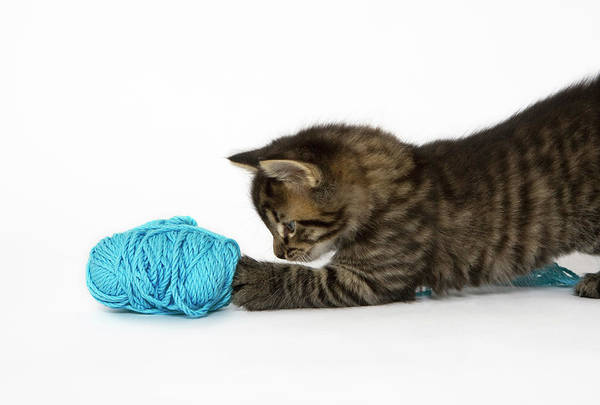 Wall Art - Photograph - A Young Tabby Kitten Playing With Wool. by Nicola Tree