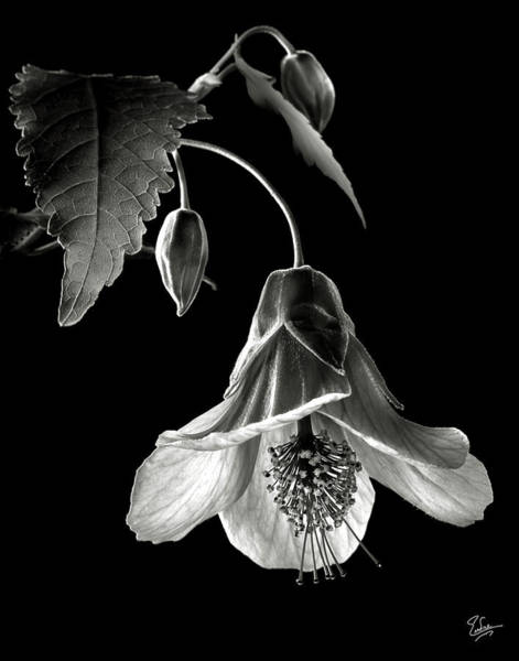 Photograph - Abutilon In Black And White by Endre Balogh