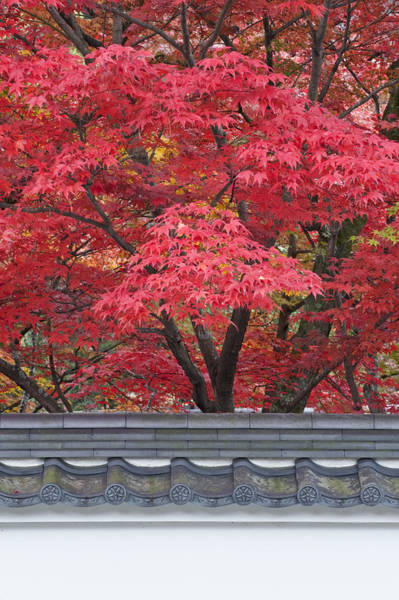 Wall Art - Photograph - Acer Trees Acer Palmatum. Autumn Color by Rob Tilley