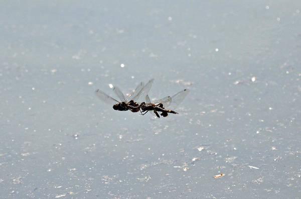 Photograph - Acrobatic Dragonflies by Teresa Blanton