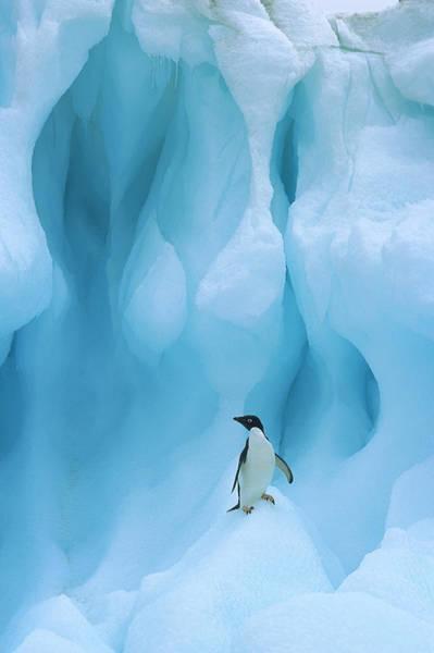 Photograph - Adelie Penguin Pygoscelis Adeliae by Colin Monteath