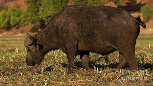 Art Print featuring the photograph African Buffalo by Mareko Marciniak