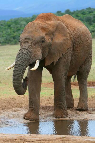 Wall Art - Photograph - African Elephant by Bruce J Robinson