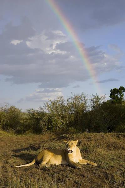 Photograph - African Lion Adult Female With Rainbow by Suzi Eszterhas