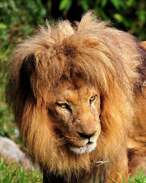 Photograph - African Lion by Bill Dodsworth