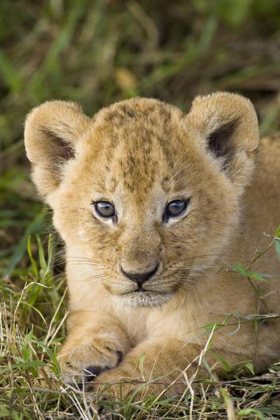 Wall Art - Photograph - African Lion Cub Panthera Leo by Suzi Eszterhas