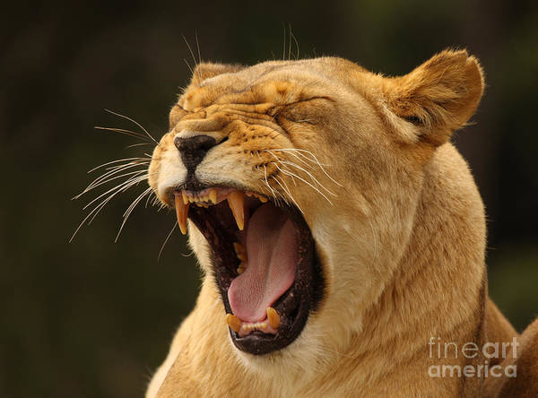 Wall Art - Photograph - African Lion Growling by Max Allen