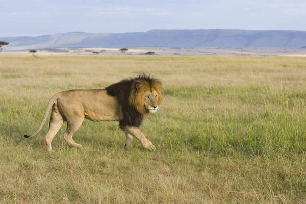 Photograph - African Lion Male On Grassland Masai by Suzi Eszterhas
