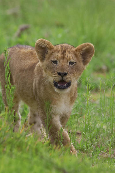 Photograph - African Lion Panthera Leo Cub Calling by Zssd