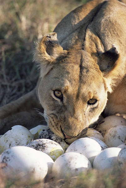 Photograph - African Lion Panthera Leo Raiding by Peter Blackwell