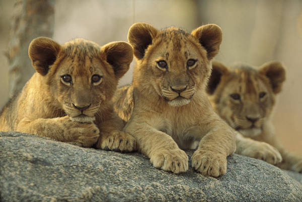 Photograph - African Lion Three Cubs Resting by Tim Fitzharris