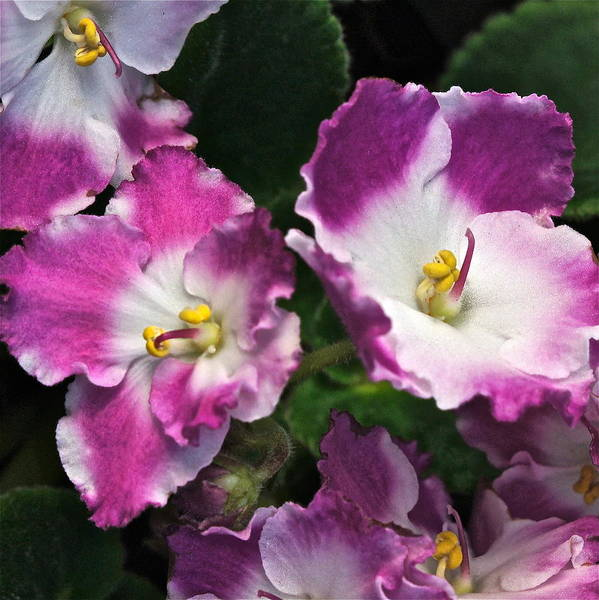Photograph - African Violets by Byron Varvarigos
