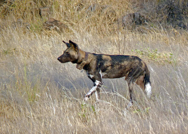 Photograph - African Wild Dog by Tony Murtagh