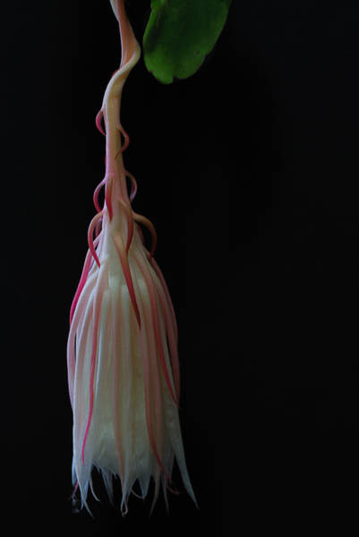 Cactus Flower Photograph - After The Ball Is Over by Susan Capuano